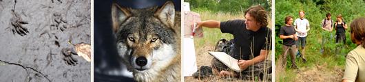 wolfstracking